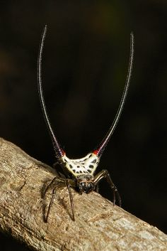 Long-horned Orb-weaver Spider by itchydogimages