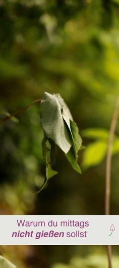 Pflanzen und Blumen im Garten und auf dem Balkon mittags nicht gießen, auch wenn sie die Blätter hängen lassen.