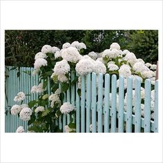 GAP Photos - Garden & Plant Picture Library - Blue fence with Hydrangea arborescens 'Annabelle' - GAP Photos - Specialising in horticultural photography Love this color for fence, door, trim