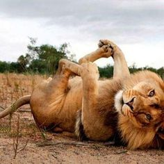 I love lions. I am terrified of lions. I   have nightmares about them. But I love lions.