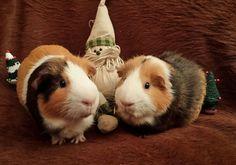 Christmas Rabbit, Christmas, Animals, Bunny, Xmas, Rabbits, Animales, Animaux, Bunnies