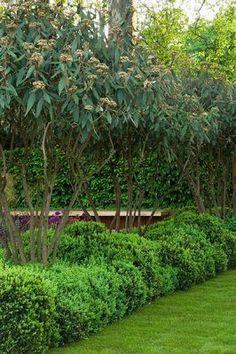 Garden hedge designed by Tom Stuart-Smith: Viburnum Rhytidophyllum and cloud box hedging