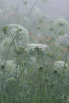 I love the muted colors in this picture of Queen Anne's Lace - one of my favorite flowers.