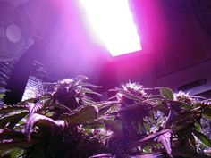 Northern Light auto, medical marijuana plants bloom under a Pro-Grow 260 LED grow light