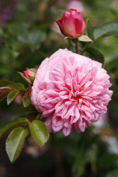 Hybrid Wichurana Large-flowered Climbing Rose: Rosa 'Paul Transon' (France, 1900)