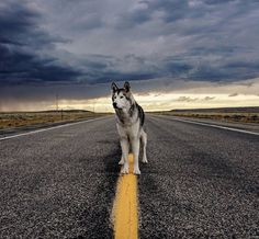 Epic Adventures of a Wolfdog Kelly Lund bring always bring her wolfdog with her to give him the opportunity to live extraordinary adventures and to be sure that her companion is not locked everywhere when she is far away. She created an Instagram for her dog named Loki where she gathers his adventures. #xemtvhay