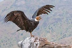 Foto Andean Condor, Bird Wings, Vulture, Big Bird, Bird Pictures, Birds Of Prey, Fauna, Photo Reference, Big Cats