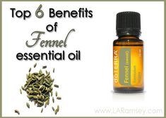 Fennel Essential Oil Fennel is a tall plant at up to six feet but it's leaves are delicate and feathery. The ancient Romans ate fennel to make them strong and robust, which is evident in how powerf...