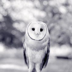 "Black and White Photography Print ""Newton the Barn Owl"" from Rocky Top Studio"