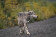 Wolf on the road in Denali http://www.nps.gov/akso/parkwise/students/PhotoGallery/DENA/wildlife/KarenWard/Wolf.jpg