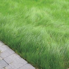 Is your lawn stuck in the Not only will new sustainable grass blends save you time and money in lawn care each year, but they're better for the environment to boot. Thomas Christopher reveals all. Garden Shrubs, Lawn And Garden, Garden Art, Grass Alternative, No Mow Grass, Ground Cover Plants, Front Yard Landscaping, Landscaping Ideas, No Grass Landscaping