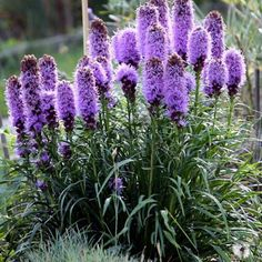 Cheap seeds bonsai, Buy Quality seeds flower seed directly from China seeds for flowers Suppliers: New Arrival! 100 Pieces/Pack Gayfeather (Liatris Spicata) seeds Bonsai Plant flower seeds for home garden Tall Flowers, Cut Flowers, Purple Flowers, Lavender Flowers, Hardy Perennials, Flowers Perennials, Planting Flowers, Purple Perennials, Flowers That Attract Butterflies