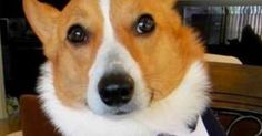 Divorce lawyers don't cause divorce, bad marriages do! Give us a call if you're thinking of getting a divorce for some legal advice Funny Marriage Advice, Bad Marriage, Corgi Funny, Cute Corgi, Beagle, Corgi Puppies, Divorce Lawyers, Dog Memes, Dog Humor