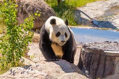 Ähtärin eläinpuisto 2019 ja pandat Panda Bear, Edinburgh, Animals, Animales, Animaux, Panda, Animal, Animais, Pandas