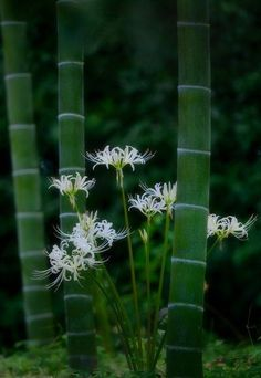 Gardening Autumn - Stillness JAPAN - With the arrival of rains and falling temperatures autumn is a perfect opportunity to make new plantations Red Spider Lily, Forever Green, Bamboo Garden, Bamboo Plants, Green Nature, Arte Floral, Jolie Photo, Amazing Nature, Beautiful World