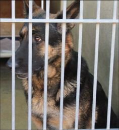 URGENT #OWNERSURRENDER 1-4-14 #ORANGE #CA ID:  A1294965 FEMALE 3 YEAR OLD #GSD #GERMANSHEPHERD BLACK & TAN GOOD WITH OTHER DOGS 714-935-6848 https://www.facebook.com/photo.php?fbid=10153678037020223&set=a.10152740218205223.1073741846.315830505222&type=1
