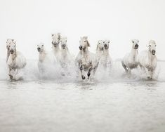 Horse Photography, Large Wall Art Print, Nature Photography, White Wild Horses Running in Water, Fine Art Print - The Power of 10