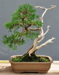Very Attractive Bonsai Indoor Trees Ideas For Indoor Decorations 24 - Trendehouse Ficus Bonsai, Flowering Bonsai Tree, Bonsai Tree Care, Bonsai Tree Types, Indoor Bonsai Tree, Juniper Bonsai, Mini Bonsai, Indoor Trees, Bonsai Plants
