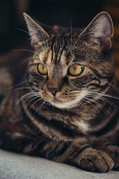 New Funny Pics Of Animals Scary Ideas Gato Munchkin, Cute Kittens, Cats And Kittens, Tabby Cats, Siamese Cat, Sphynx Cat, Big Cats, Funny Cats, Funny Animals