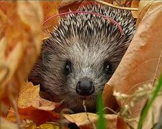 Hedgehogs are adorable,my sister inlaw had one in her garden in Wales, it's considered good luck. If you have ever held one, I love the way the snuff and snort, and their bellies are so soft.