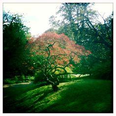 Maple Tree, Bath Botanic Gardens, Bath, Somerset, England.