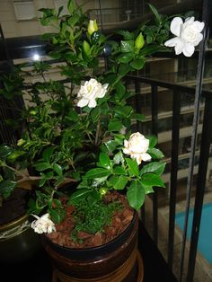 how to grow jasmine indoors gardening jasmine plant. Black Bedroom Furniture Sets. Home Design Ideas