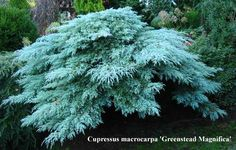 Cupressus macrocarpa 'Greenstead Magnifica' A wide spreading shrub with beautiful silvery blue foliage. A fast grower, capable of spreading more than in 10 years. Can build up in height with age. Often grafted onto a standard. Evergreen Landscape, Evergreen Garden, Evergreen Shrubs, Trees And Shrubs, Trees To Plant, Hillside Landscaping, Landscaping With Rocks, Garden Shrubs, Garden Plants