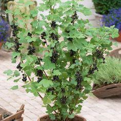 Смородина – капризная дама или культура с особенностями?  Одной из наиболее распространенных культур в большинстве частных садов является смородина. Она бывает красная, белая, желтая, розовая, черная, фиолетовая, и даже зеленая. Однако на самом деле по морфологическим особенностям подразделяется лишь на два вида – красную и черную, остальные же «цвета» являются их сортовыми разновидностями: розовая, желтая и белая относятся к красной, фиолетовая и зеленая – к черной. Фото: © suttons