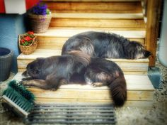 Like father like son. Isä ja poika. Karvanopat portailla. #pooch #mutt #dog #t #fb