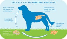 Birdneck Animal Hospital explains the life cycle of parasites in pets. Dog Health Tips, Dog Health Care, Plague Dogs, Intestinal Parasites, Cats And Cucumbers, Cat Reading, Cat Coloring Page, 1 Gif, Love Your Pet