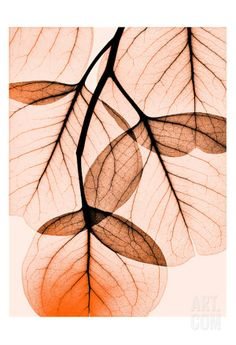 Orange Eucalyptus • Albert Koetsier