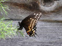 Beneficial Insect Files: Black Swallowtail Caterpillar « A Round Rock Garden