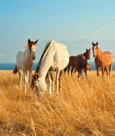 Group of Horses Photos Herd of horses in Crimean prairie in front of the sea by joyt