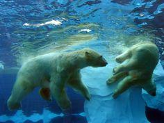 Everybody was KungFu olar Bear Swimming Our Polar Bears Live, Penguins And Polar Bears, Polar Bear Wallpaper, Milwaukee Zoo, Polar Bear Images, Polar Bears International, Detroit Zoo, Animal Adaptations, Polar Bears