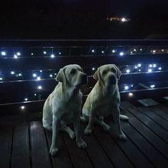 Kluci naši... Labrador Retriever, Photo And Video, Videos, Animals, Instagram, Labrador Retrievers, Animales, Animaux, Animal