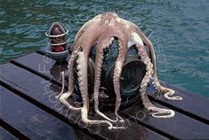 Octopus over an old dive helmet Mermaid Mythology, Dove Images, Deep Sea Diver, Underwater Images, Flotsam And Jetsam, Diving Helmet, Scuba Diving Equipment, Octopuses, Water Life