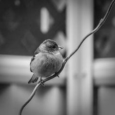 #canon7d #photography  #bird #branch #blackandwhite