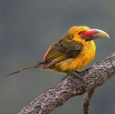 Saffron Toucanet. It is found in Atlantic Forest in far north-eastern Argentina, south-eastern Brazil, and eastern Paraguay.