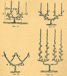 Fruit trees being trained into more than 44 different forms or formes fruitières, as espalier patterns are called in French. See www.frenchgardening.com