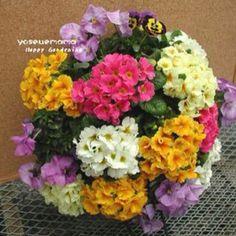 ガーデニングで楽しむ寄せ植え・ハンギングバスケット*寄せ植えデザイナー西山恭枝作品集http://nishiyamagarden.com/ Primula juliae's hanging-basket