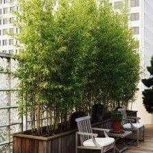 Tanaman Bambu Kuning Mini