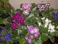 Plantas ideais para ambientes internos. Violetas africanas.