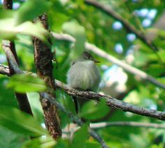 Tiny Eastern Wood Pewee blends in so well it makes it impossible to spot...almost. #nwf #BackyardHabitat #StarWoods