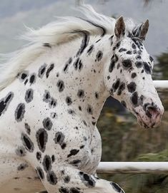 Black Leopard Appaloosa with Freckles and Halos around the spots Most Beautiful Horses, All The Pretty Horses, Animals Beautiful, Cute Animals, Caballos Appaloosa, Appaloosa Horses, Cute Horses, Horse Love, Horse Photos