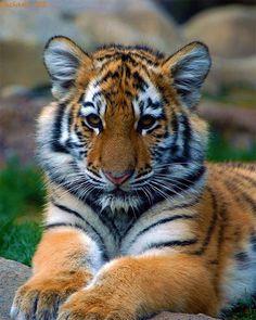 #baby #tiger wildlife-big-cats-puppy-cute