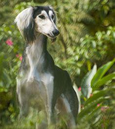 Salatino 'Astro em Desfile'    #Saluki #Salatino #Dogs #dog #perro #cao #cachorro #animals #animales #animais #cute #love #baby