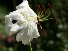 http://faaxaal.forumgratuit.ca/t4199-photo-de-liliacee-lys-blanc-lis-blanc-white-lily