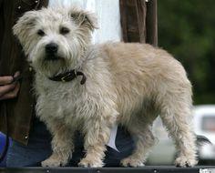 Glen of Imaal Terrier Pictures (