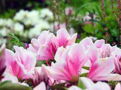 斜面にモコモコと咲くツツジを見る【さつき山公園:新潟県】
