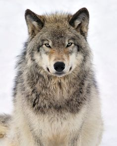 Timber Wolf by Tony Beck on 500px
